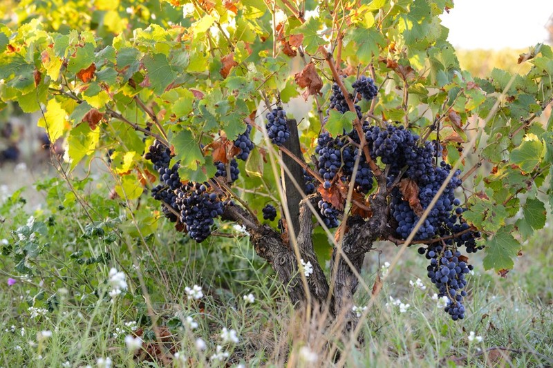 picture of grapes on a vine